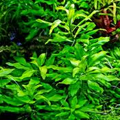 Penthorum sedoides - RATAJ (koszyk)