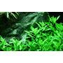 Penthorum sedoides TROPICA (koszyk)