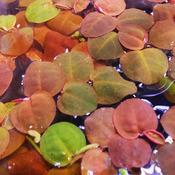 Phyllanthus fluitans (ro?lina p?ywaj?ca) puszka 10cm XXL