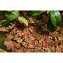 Phyllanthus fluitans (roślina pływająca) - sadzonka