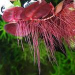Phyllanthus fluitans - TROPICA in-vitro 12GROW (pływająca)