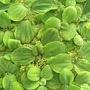 Pistia stratiotes (roślina pływająca) puszka 10cm XXL