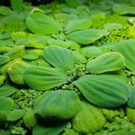 Pistia stratiotes (sztuka) - roślina pływająca