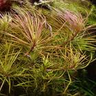 Pogostemon (eustralis) stellatus - RATAJ (koszyk)