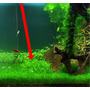 Pogostemon helferi - in-vitro Aqua-Art
