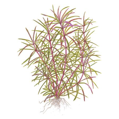 Pogostemon stellata (Eustralis stellata) TROPICA (koszyk)