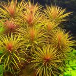 Pogostemon stellata - PLANTACJA (koszyk)