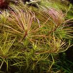 Pogostemon stellatus (Eustralis stellata) - in-vitro Aqua-Art