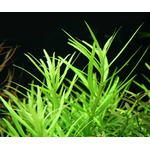 Pogostemon yatabeanus / Maikino (in-vitro) puszka 10cm XXL