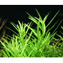 Pogostemon yatabeanus / Maikino (in-vitro) puszka 5cm