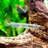 Półdziobek karłowaty - Dermogenys pusilla