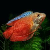 Prętnik karłowaty czerwony - Trichogaster lalius RED - samiec (1szt)