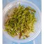 Proserpinaca palustris (in-vitro) puszka 5cm