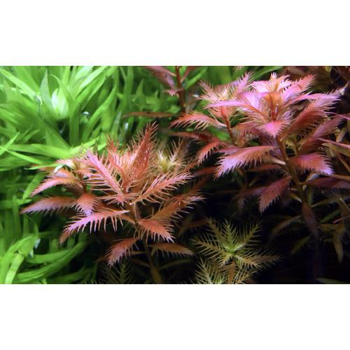 Proserpinaca palustris Cuba TROPICA in-vitro (w żelu)