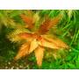 Proserpinaca palustris - RA koszyk duży XXL