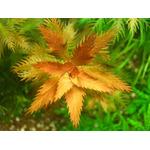 Proserpinaca palustris - RATAJ (koszyk)