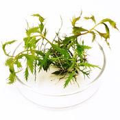 Proserpinaca palustris - sadzonka