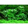 Ranunculus inundatus - RATAJ (koszyk)