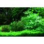 Ranunculus inundatus - SONGROW (koszyk)