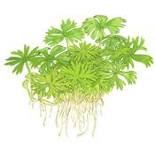 Ranunculus inundatus - TROPICA in-vitro 12GROW