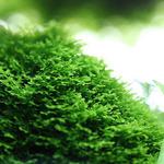 Riccardia chamedryfolia (Mini Pelia) - TROPICA (wanienka/porcja)