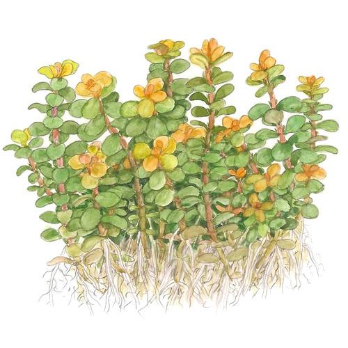 Rotala Bonsai (Ammania Bonsai) (in-vitro) puszka 7cm TROPICA