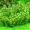 Rotala Bonsai (Ammania Bonsai) TROPICA in-vitro (w �elu)
