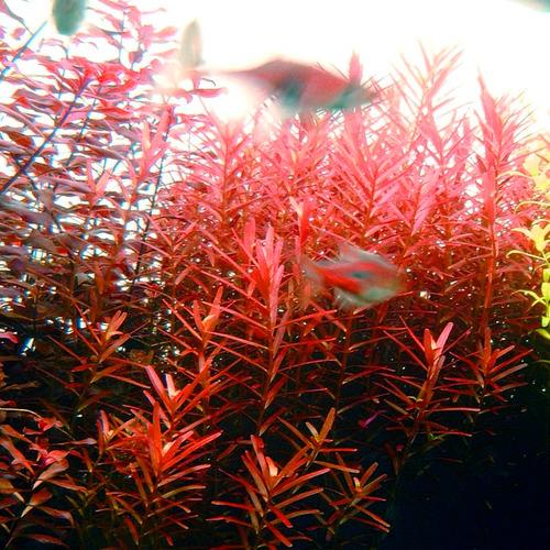 Rotala H'ra - in-vitro Aqua-Art