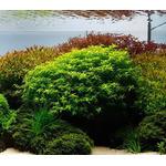 Rotala macrandra narrow green - RA koszyk XXL