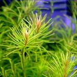 Rotala nanjenshan - in-vitro Aqua-Art