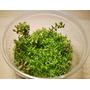 Rotala rotundifolia (in-vitro) puszka 5cm