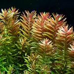 Rotala rotundifolia (in-vitro) puszka 10cm XXL