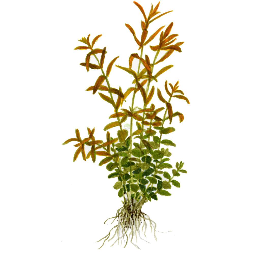 Rotala rotundifolia (Rotala indica) - TROPICA (MP)