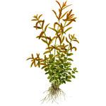 Rotala rotundifolia (Rotala indica) - TROPICA (opakowanie mini)