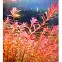 Rotala rotundifolia colorata - RA koszyk duży XXL