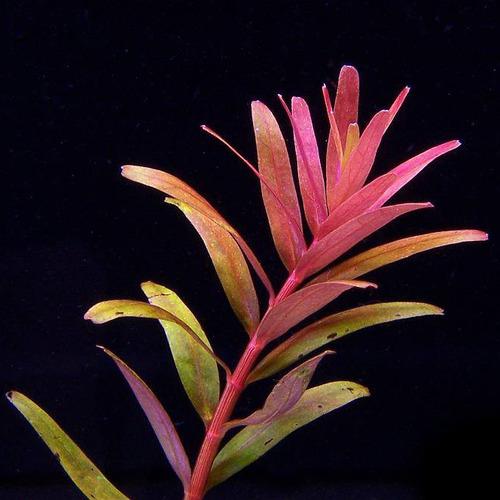 Rotala rotundifolia colorata - RA koszyk STANDARD