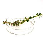 Rotala rotundifolia colorata - sadzonka