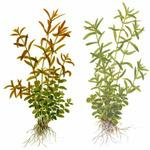 Rotala rotundifolia + green (in-vitro) 2-pack XXL