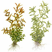 Rotala rotundifolia + green (in-vitro) 2-pack XXL