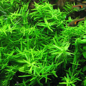 Rotala rotundifolia 'Green' - in-vitro Aqua-Art