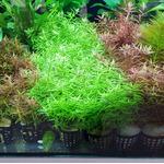 Rotala rotundifolia green - RA koszyk XXL