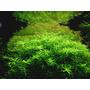 Rotala rotundifolia green - RATAJ (koszyk)