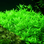 Rotala rotundifolia green - TROPICA in-vitro 12GROW