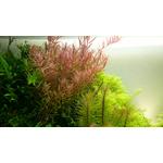 Rotala rotundifolia - in-vitro Aqua-Art
