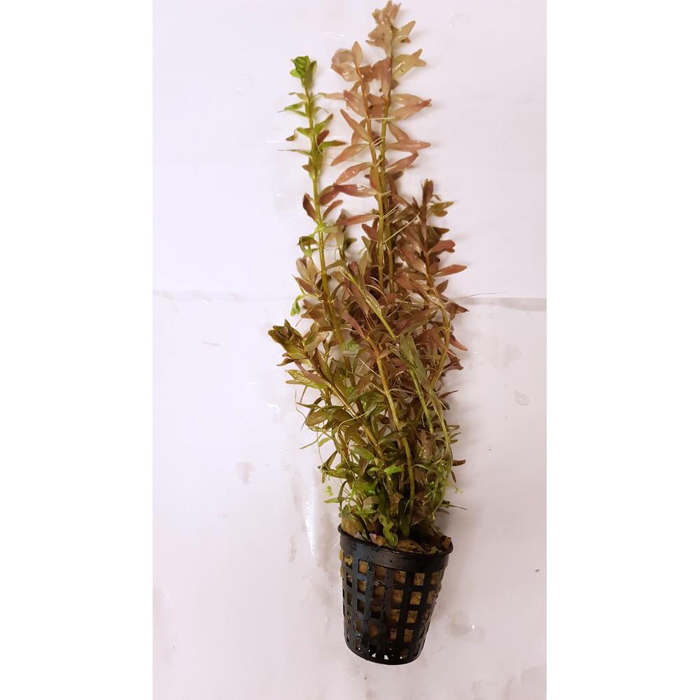 Rotala rotundifolia indica - z przycinki