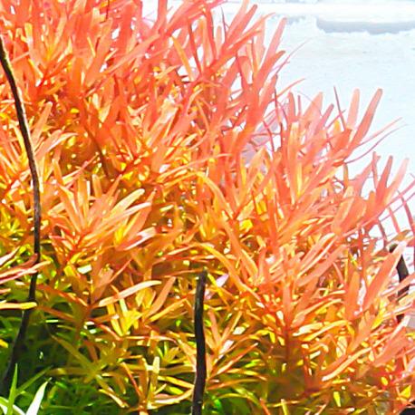 Rotala rotundifolia - PLANTACJA (koszyk)