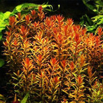 Rotala rotundifolia - RA koszyk STANDARD