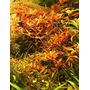Rotala rotundifolia - RATAJ (koszyk)