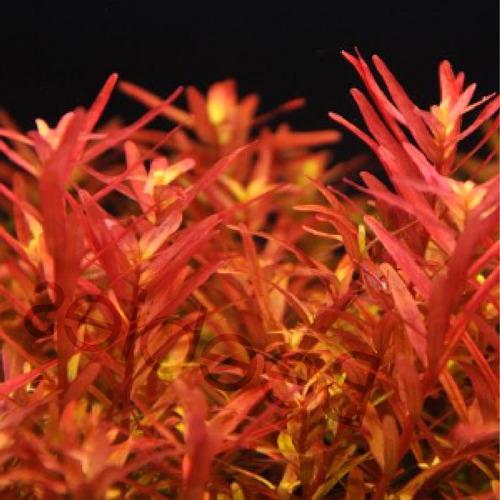 Rotala rotundifolia RED (in-vitro) puszka 5cm XXL - odmiana czerwona!