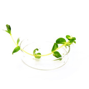 Rotala rotundifolia - sadzonka